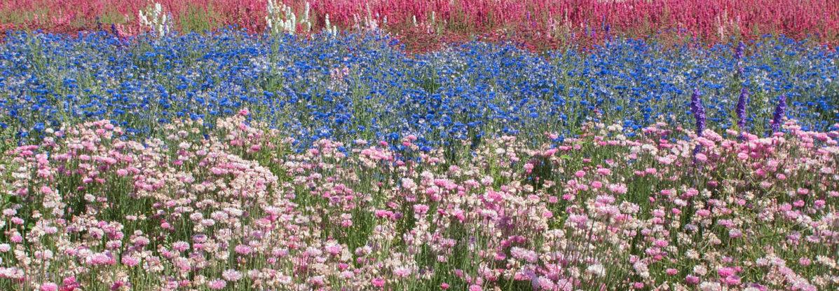 Cotswold-Flower-Fields-The-Real-Flower-Petal-Confetti-Company-Delphiniums
